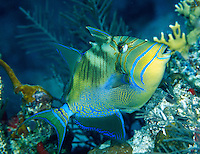 Queen Triggerfish<br /> Balistes vetula<br /> U.S. Virgin Islands