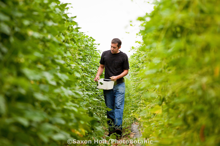 Farmer Manuel Recio harvesting heirloom vegetable, shelling beans, Viridian Farms, Oregon