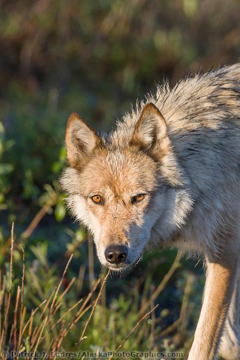 Wild gray wolf in Denali National Park, Alaska.