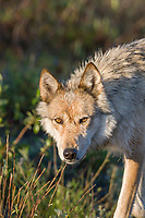 Wild gray wolf in Denali National Park, Alaska.