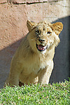 One Happy Lion Cub