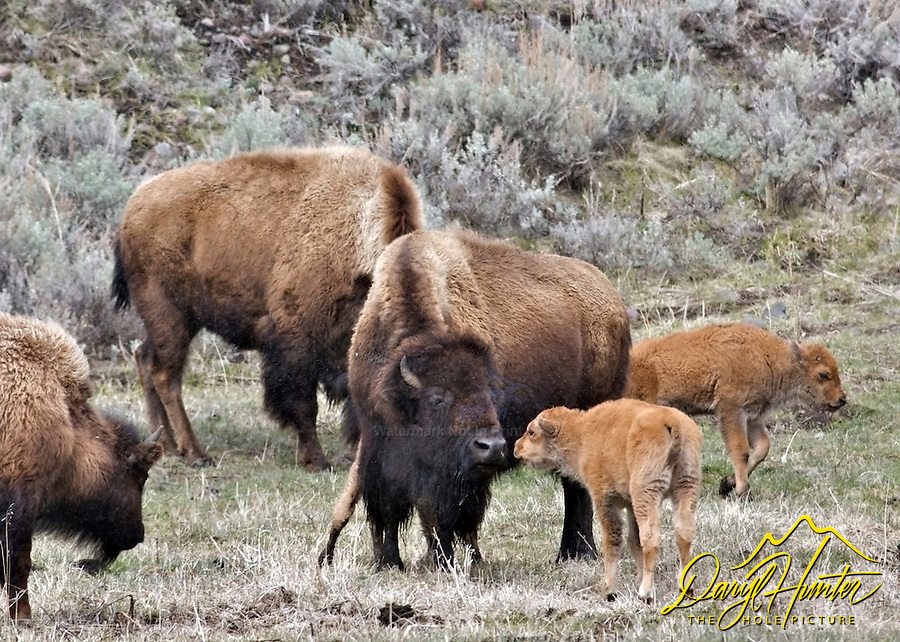 Bison,  Calves, Yellowstone National Park