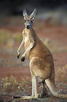 Red Kangaroo.Macropus rufus.South Australia.Australia