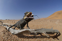 Namaqua Chamaeleon eating insect prey (Chamaeleo namaquensis), Namib Desert, Namibia.