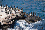 La Jolla Cove, La Jolla, California; several Brandt's Cormorant (Phalacrocorax penicillatus) birds and California Sea Lions, standing on the cliffs overlooking the Pacific Ocean