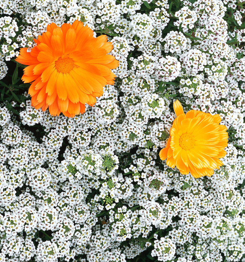 One orange and one smaller light orange flower stand out in a field of white flowers.