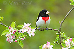 Rose-breasted Grosbeak (Pheucticus ludovicianus) male perched on apple branch with flowers, spring, New York, USA