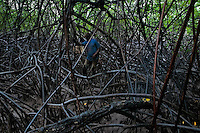 A Colombian man walks through the dense maze of the trees while picking shellfish in the mangrove swamps on the Pacific coast, Colombia, 12 June 2010. Deep in the impenetrable labyrinth of mangrove swamps on the Pacific seashore, hundreds of people struggle everyday, searching and gathering a tiny shellfish called 'piangua'. Wading through sticky mud among the mangrove tree roots, facing the clouds of mosquitos, they pick up mussels hidden deep in mud, no matter of unbearable tropical heat or strong rain. Although the shellfish pickers, mostly Afro-Colombians displaced by the Colombian armed conflict, take a high risk (malaria, poisonous bites,...), their salary is very low and keeps them living in extreme poverty.