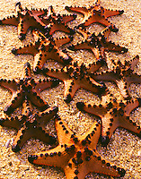 Philippine Knobby Starfish, Bacuit Bay, El Nido Protected Area, Philippines