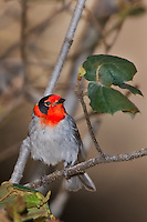592307003 a wild male red-faced warbler cardellina rubrifrons perches on a small plant stem on mount lemmon near tucson arizona united states