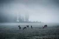 Deer in Fog at dawn in Tuolumne meadows, Yosemite national park, California, USA