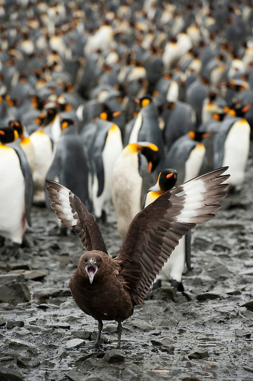 Brown Skua (Stercorarius antarcticus) and King Penguin (Aptenodytes patagonicus), Salisbury Plain, South Georgia