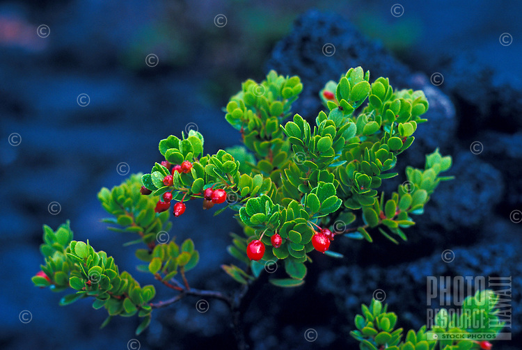 Ohelo plant with red berries in front of black hardened lava rock on the Big Island