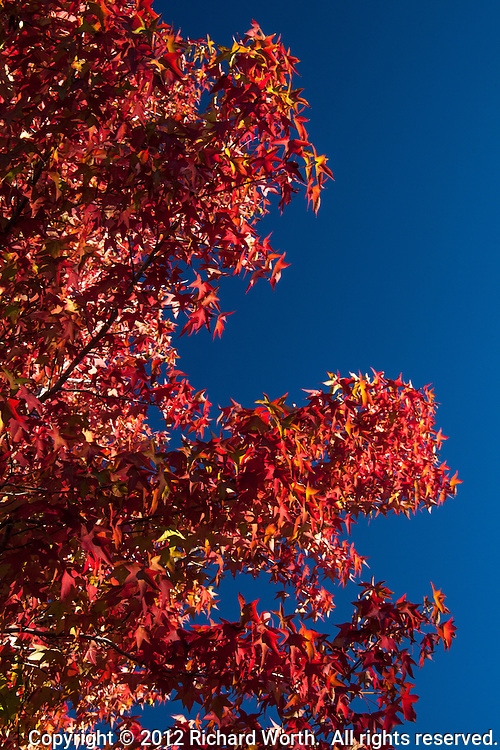 Red leaves against a deep blue sky provide a taste of autumn in a shopping center parking lot.