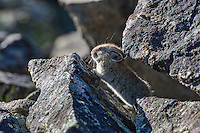Cute, Young American pika (Ochotona princeps) in its boulder field home.  Beartooth Mountains, Wyoming/Montana border.  Summer.  This photo was taken in alpine setting at around 11,000 feet (3350 meters) elevation.