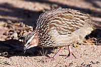 Crested Francolin, Kruger NP, SA