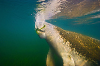 Florida manatee, breathing as it feeds on seagrass, Trichechus manatus latirostris, endangered, a subspecies of the West Indian manatee, Kings Bay, Crystal River, Florida