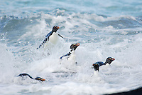 Within the surf zone the Rockhopper Penguins (Eudyptes chrysocome) must quickly switch from the horizontal swimming position to an upright waddling fast enough to avoid the impact of the next wave, Falkland Islands.