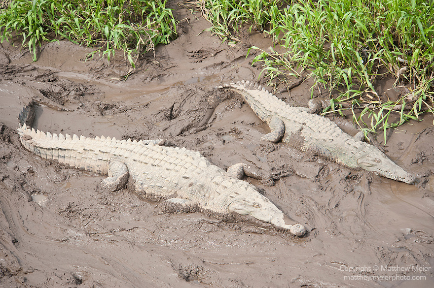 Tarcoles River, Costa Rica; a pair of American Crocodiles (Crocodylus acutus) along the banks of the Tarcoles River