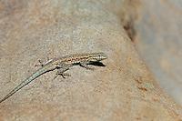 442690007 a wild western side-blotched lizard uta stansburiana elegans perches on a rock along piru creek in northern los angeles county california