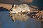 The desert cottontail (Sylvilagus audubonii), also known as Audubon's cottontail
