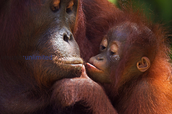 Bornean Orangutan female with daughter aged 12 months begging for food to be regurgitated (Pongo pygmaeus wurmbii), Camp Leakey, Tanjung Puting National Park, Central Kalimantan, Borneo, Indonesia.