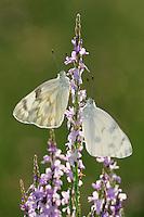Checkered White (Pontia protodice), adult feeding on Texas Vervain (Verbena halei), Laredo, Webb County, Texas, USA