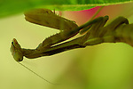 Mantis under leaf, Close portrait, California Mantis female, Stagmomantis californica, Praying Mantis, Southern California