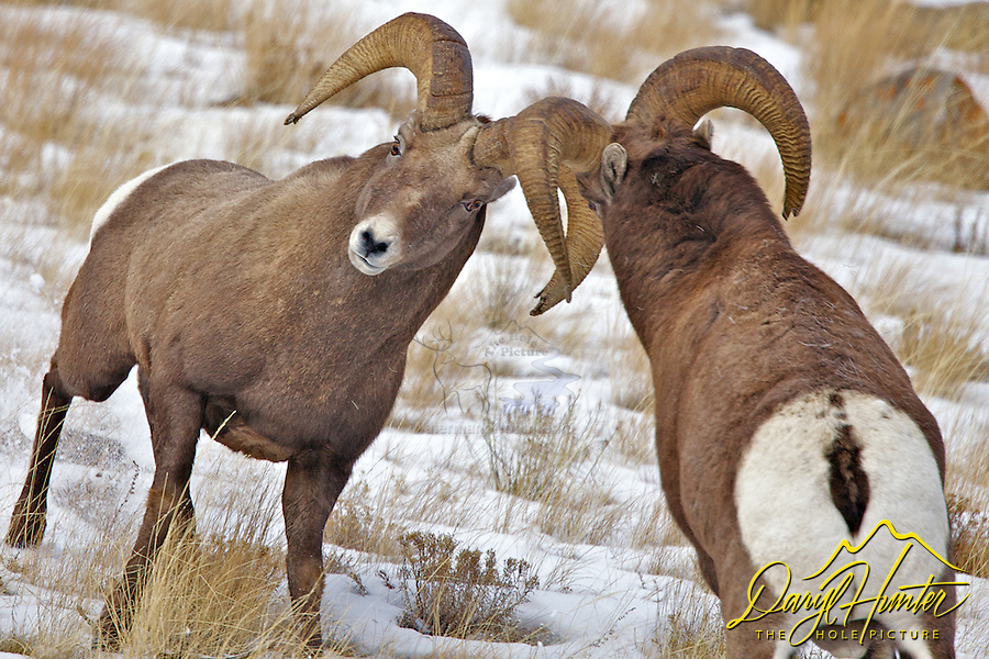 Fighting Bighorn Rams, a test of will and strength