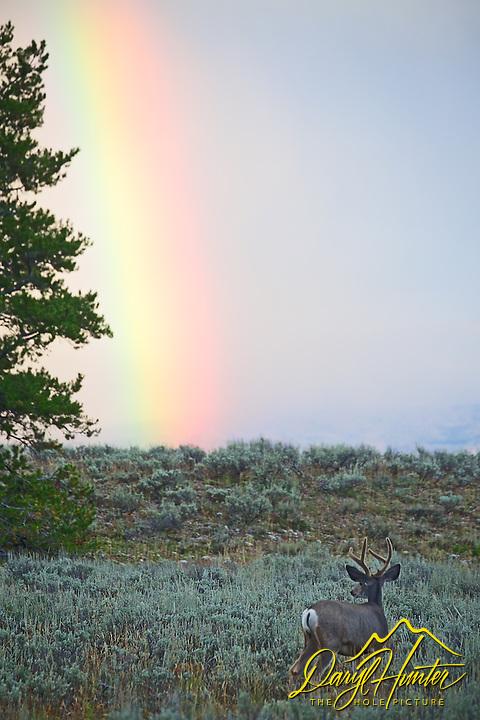 Bull Elk, Rainbow, Grand Teton National Park