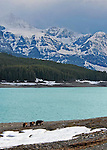 sow and two yearling grizzly bears in early spring wonder up the shore of sherburn lake, glacier national park, crown of the continent, montana