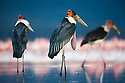 Marabou storks (Leptoptilos crumeniferus) standing in Lake Nakuru, Lake Nakuru National Park, Kenya