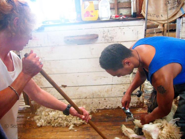 Sheep Shearing on a farm iin the South Island of New Zealand