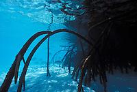 Underwater view of mangrove roots, Lizard Island, Great Barrier Reef, Queensland, Australia