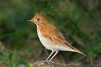 589500003 a wild veery catharus fuscenscens perches among leaf litter on south padre island along the texas gulf coast