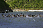 During the summer the Porcupine Herd breaks up into aggregations numbering from tens to thousands all the way down to small bands of three to five.