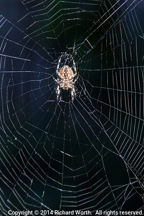A backyard safari netted this spider waiting in its web.