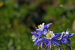 Columbine wildflowers basking in the sun along the trail between Bear Lake and Lake Helene.