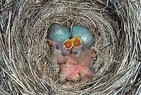 Rotdrossel, Ei, Eier, Gelege im Nest mit sperrenden, bettelnden Küken, Rot-Drossel, Drossel, Turdus iliacus, redwing