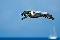 Pelicans at Cinnamon Bay<br /> Virgin Islands National Park<br /> St. John<br /> U.S. Virgin Islands