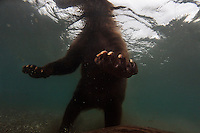 A brown bear is photographed underwater while she fishes for salmon at Kurilskoe Lake Preserve, a world heritage site.