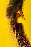 Honigbiene, Vorderbein, Putzbein, mit dem Vorderbein putzt sich die Biene, dazu besitzt die Ferse des Fußes eine Putzscharte und die Schiene einen speziellen Dorn, Putzapparat besteht aus der Putzscharte, einem halbkreisförmigen Ausschnitt an der Innenkante der Ferse mit einem eingesetzten Kamm aus Chitinhaaren und einem flachen Chitinanhang, dem Sporn, der von der Unterkante der Schiene herabhängt, Honig-Biene, Biene, Apis mellifera, Apis mellifica, honey bee, hive bee