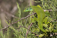 Male Emerald lizard (Lacerta bilineata) warming up, San Marino.
