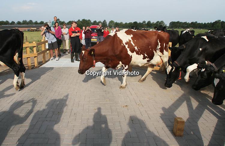 """Foto: VidiPhoto..VOORST - In Voorst bij Zutphen is dinsdag de eerste koe-oversteekplaats van Nederland geopend waar koeien voorrang hebben. De dieren kunnen zelfstandig via een soort zebrapad met wildroosters van de melkrobot naar de wei lopen. Automobilisten worden gewaarschuwd door een driehoekig bord en de tekst: """"Let op! er kan nog een koe aankomen."""" Het is de bedoeling dat de koe-oversteekplaats in meer gemeenten wordt gerealiseerd.."""