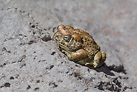 479500001 a wild arizona toad anaxyrus microscaphus perches on a rock near the middle fork of the gila river in catrons county new mexico