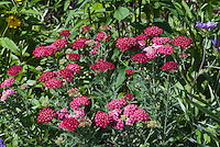 Achillea millefolium, red, yarrow species