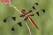 Female Twelve-Spot Skimmer perched on a branch (Libellula pulchella)