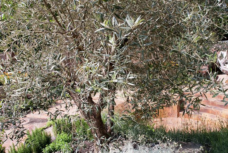 Eucalyptus Tree in garden
