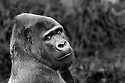 A large male silver-back gorilla contemplates visitors to the San Francisco Zoo.