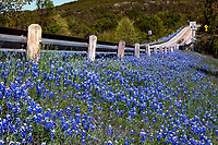 A country highway leads through a stunning blue color field of Texas bluebonnets in the Texas Hill Country. Beautiful backcountry landscape photo - Stock Image.